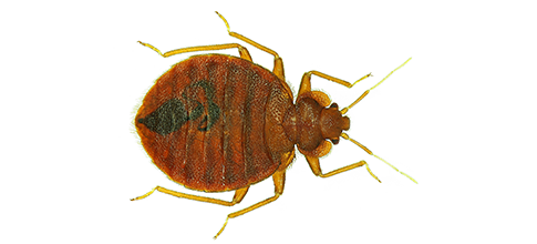 Knockout Exterminating | Spring Valley,CA | Bed Bug Exterminating